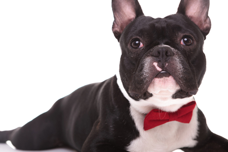 black backgrounds: cute french bulldog puppy dog lying down and looking up on white background, wearing red bow tie