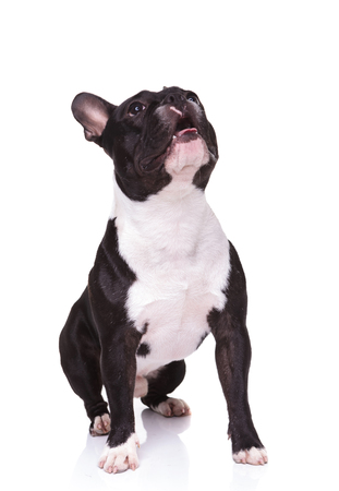frenchie: seated curious french bulldog puppy dog looking up to something on white background Stock Photo