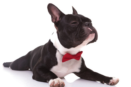 small dog: arrogant little french bulldog puppy sniffing a scent , wearing a red bowtie and lying down on white background