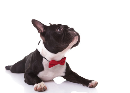 side of a cute french bulldog puppy wearing bow tie looking up , isolated on white background