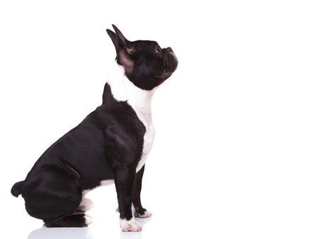 frenchie: side view of a curious french bulldog puppy dog looking up to something, isolated on white background