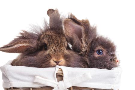 osterhase: Zwei niedliche Löwenkopf Kaninchen bunnys sitzen in einem hölzernen Korb.