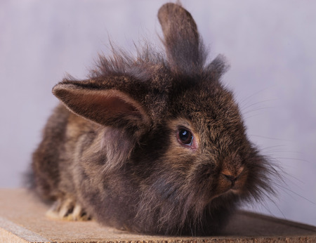 lye: Portrait of a furry lion head rabbit bunny looking at the camera while lying on a wood box. Stock Photo