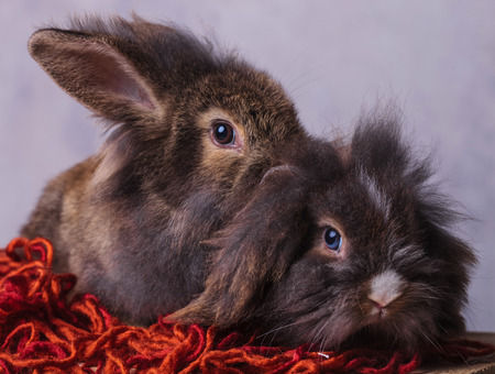 furry: Two furry lion head rabbit bunnys sitting on a red scarf while looking at the camera.