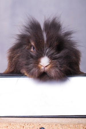 animal ear: Furry lion head rabbit bunny sitting on a book while looking at the camera. Stock Photo