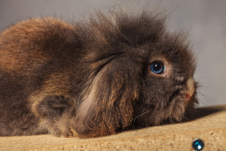 lye: Side view picture of a adorable lion head rabbit bunny lying on a wood box.