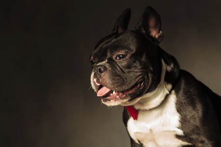 mouth  open: side view of a cute french bulldog with mouth open and tongue exposed in studio Stock Photo