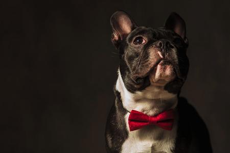 foto de primer plano de un perro cachorro de bulldog francés mirando a la cámara en el estudio, que lleva una pajarita roja Foto de archivo