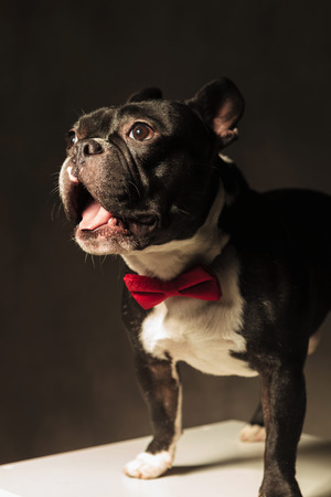 french bulldog puppy: amazed french bulldog puppy dog wearing bowtie in studio, with mouth open and tongue exposed