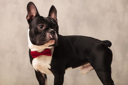 funny boston terrier: side portrait of french bulldog puppy wearing a red bowtie while looking away in studio background