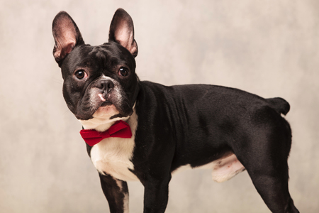 funny boston terrier: side portrait of curious black and white french bulldog wearing a red bowtie in gray studio background while looking at the camera