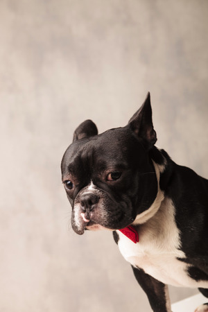 funny boston terrier: close portrait of sad elegant french bulldog wearing a red bowtie while looking down in gray studio background Stock Photo