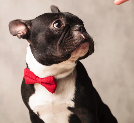 funny boston terrier: elegant french bulldog wearing a red bowtie while posing looking away at a finger in gray studio background