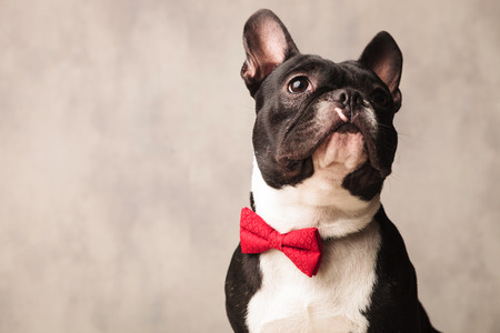 boston bull terrier: cute close portrait black and white french bulldog wearing a red bowtie while posing looking up