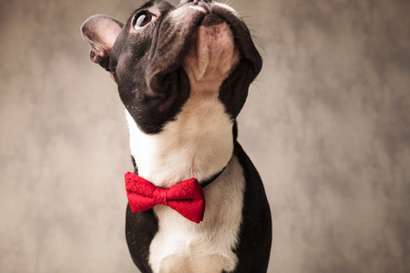 boston bull terrier: cute black and white french bulldog wearing a red bowtie looking up in gray studio background