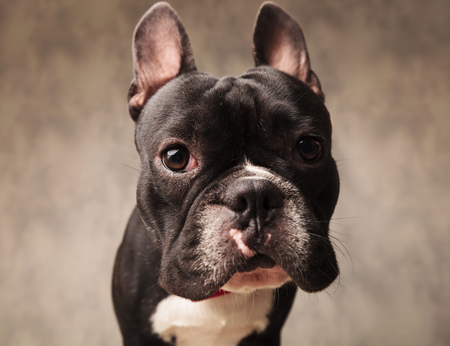 funny boston terrier: close portrait of cute french bulldog puppy dog looking at the camera in gray studio background