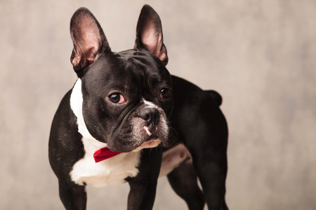 funny boston terrier: portrait of curious french bulldog puppy wearing a red bowtie in gray studio background Stock Photo