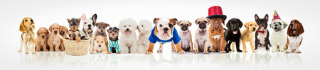 large group of dogs on white background, different breeds and sizes, some of them wearing clothes, hats and costumes
