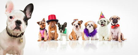 french bulldog standing in front of many dogs dressed in different halloween costumes and hats