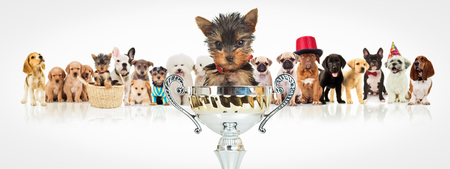 small group: small yorkshire terrier puppy dog sitting in a big trophy cup in front of a winning group of dogs on white background