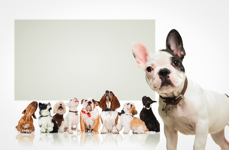 blanco y negro francés bulldog cachorro de pie delante de un gran grupo de perros, todos mirando hacia arriba en un gran cartel en blanco Foto de archivo