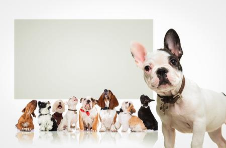 Schwarz-Weiß-französisch vor einer großen Gruppe von Hunden stehen Bulldogge Welpen, alle auf der Suche in einem großen leeren Plakatwand Standard-Bild