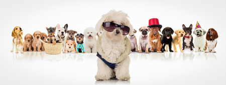 large group of animals: cute white bichon wearing clothes and sunglasses , sitting in front of a large group of dogs of different breeds on white backogrund