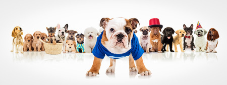 english bulldog puppy wearing blue clothes standing in front of a large group of dogs on white background Foto de archivo