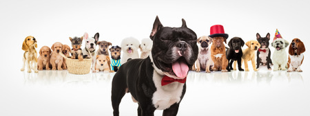 dog in costume: happy french bulldog puppy wearing bowtie sticking out tongue and having fun in front of a large group of dogs of different breeds on white background