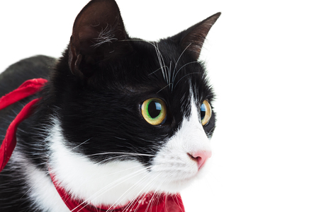 close up view: close up of a cute cat wearing red scarf, side view on white background Stock Photo