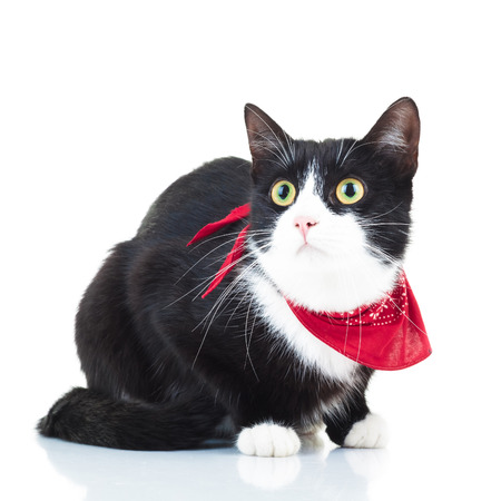 red animal: curious black and white cat wearing red scarf isolated on white background Stock Photo