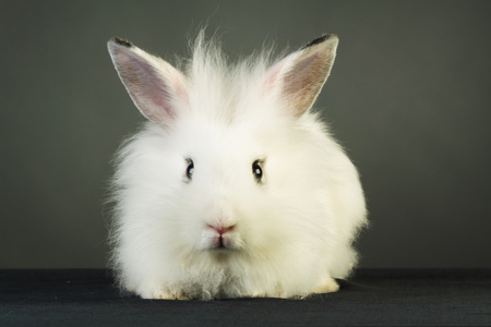 animal ear: cute white rabbit with big ears  on grey background