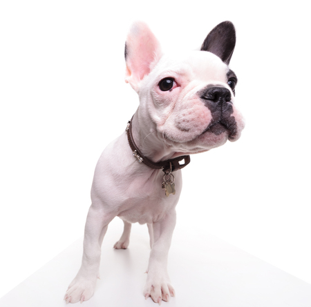 funny picture of a french bulldog puppy looking to side on white background