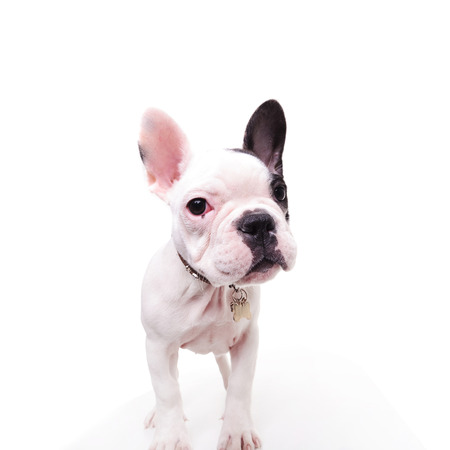 frenchie: black and white french bulldog puppy dog standing and looks at the camera, on white background Stock Photo