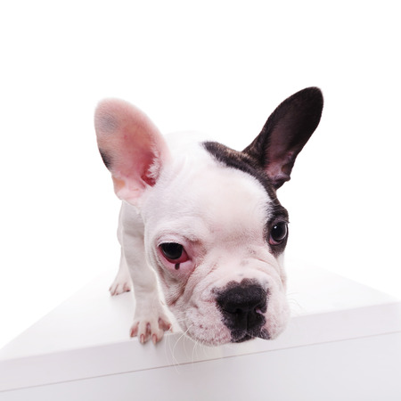 wide angle picture of a black and white french bulldog sniffing something on white background
