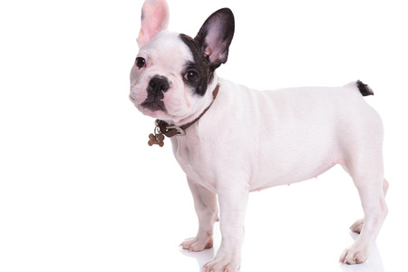 collarin: side view of a standing french bulldog puppy dog on white background Foto de archivo