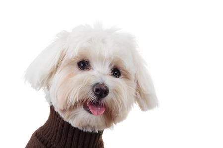 perros graciosos: closeup picture of a funny bichon puppy with tongue exposed on white background