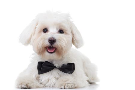 panting white bichon puppy wearing bowtie isolated on white background Foto de archivo
