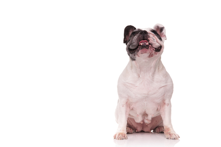 nine year old: panting french bulldog sitting on white background with tongue out