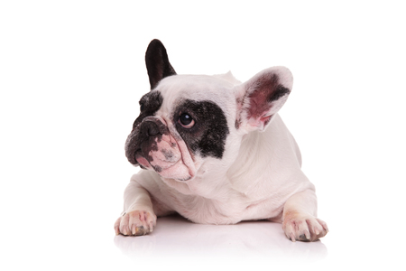 nine year old: sad french bulldog lying down and looks to side on white background