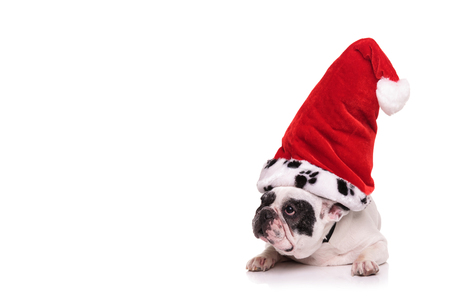 sit down: french bulldog wearing santa claus hat looks to side while lying on white background