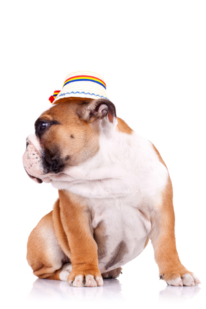 side view of an english bulldog sitting and wearing a traditional romanian hat from maramures county Stock Photo