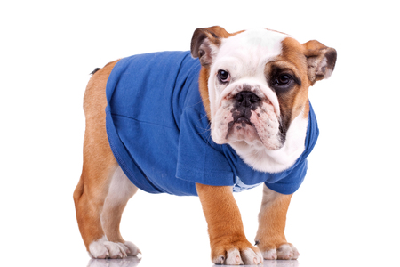 standing english bulldog puppy wearing nice clothes over white