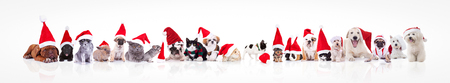 large group of animals waring santa claus hat on white background; dogs, cats, chinchilla, rabbits, guinea pigs Stock Photo