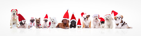 large group of dogs wearing santa claus hats and costumes on white background