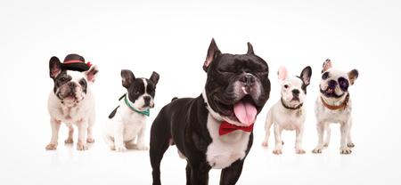 boca cerrada: excitado bulldog francés con la boca abierta y los ojos cerrados con bowtie, frente a un grupo de otros perros sobre fondo blanco
