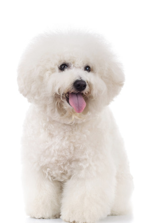 seated and panting bichon frise on white background