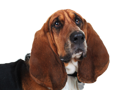 closeup picture of a cute basset hound on white background Stock Photo