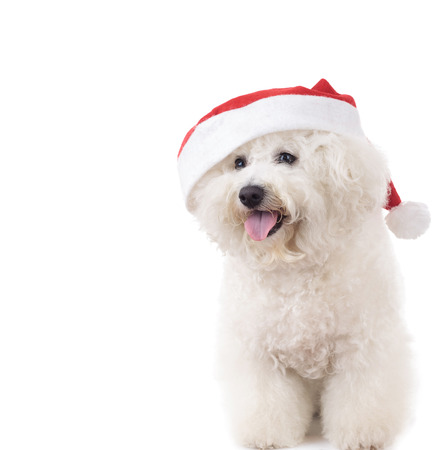 happy seated santa claus bichon frise on white background
