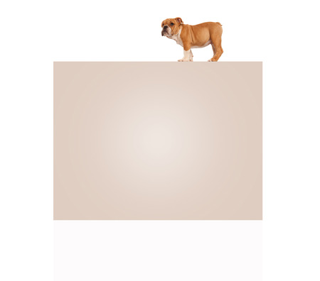 cute english bulldog puppy dog standing on top of a big blank billboard on white background Stock fotó